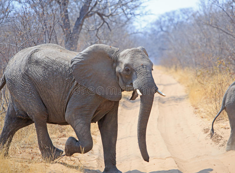 Isolated elephant Running across the dirt track road in Hwange National Park, Zimbabwe stock image
