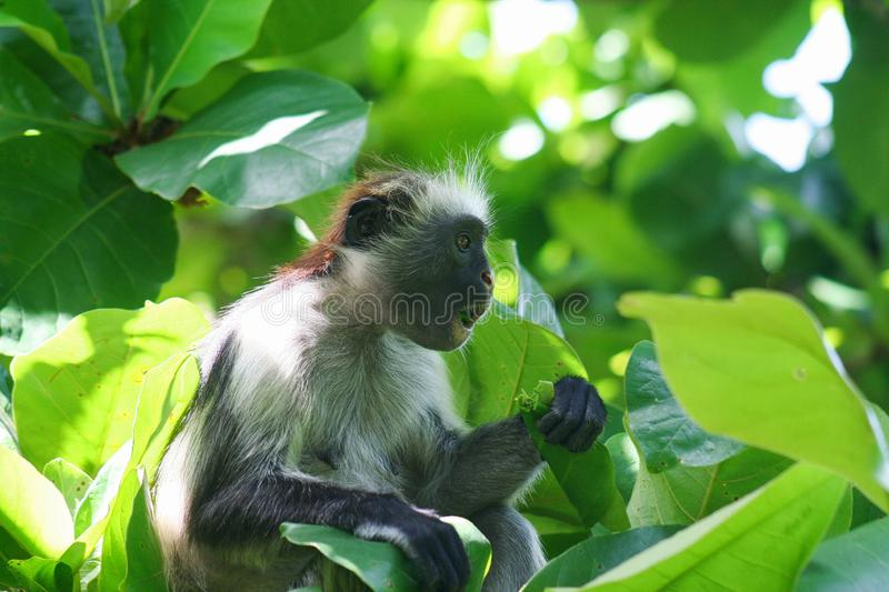 endangered young red colobus monkey Piliocolobus, Procolobus kirkii eating a leaf in the trees. Of Jozani Forest, Zanzibar royalty free stock photo