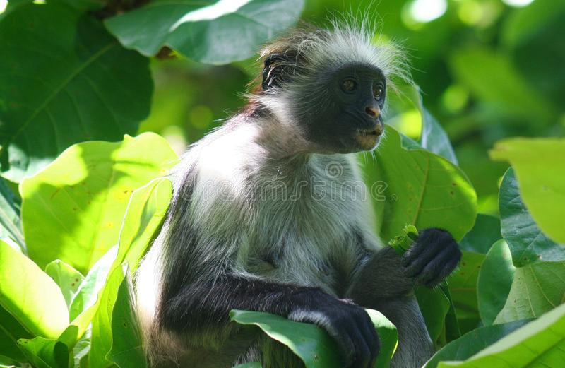 endangered young red colobus monkey Piliocolobus, Procolobus kirkii eating a leaf in the trees. Of Jozani Forest, Zanzibar royalty free stock image
