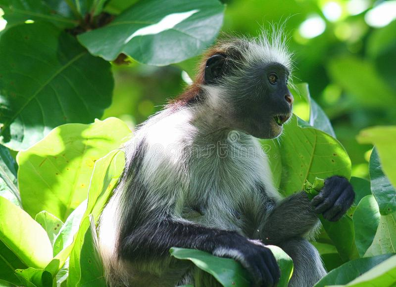 endangered young red colobus monkey Piliocolobus, Procolobus kirkii eating a leaf in the trees. Of Jozani Forest, Zanzibar stock photo