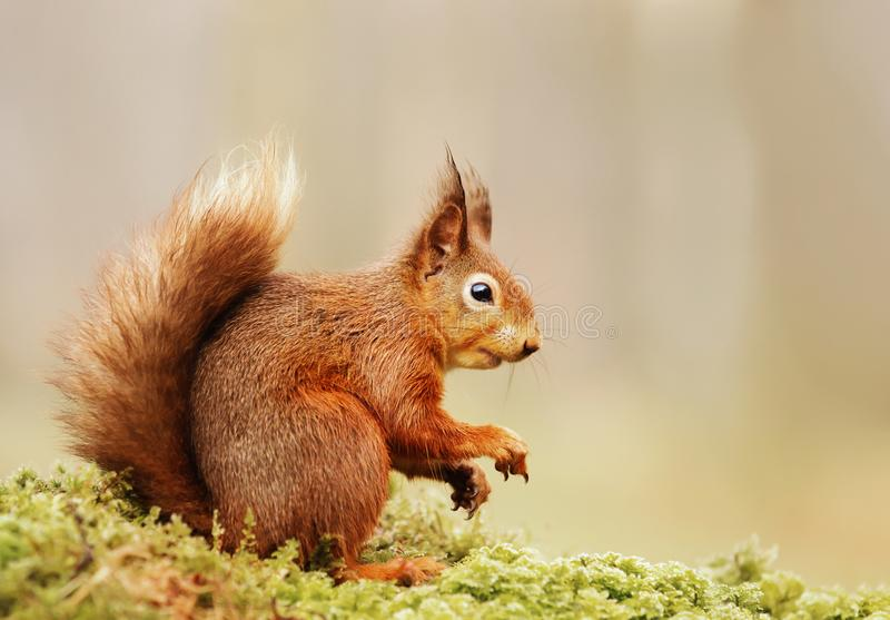Red squirrel sitting on a mossy log. Isolated Eurasian red squirrel Sciurus vulgaris sitting on a mossy log royalty free stock image