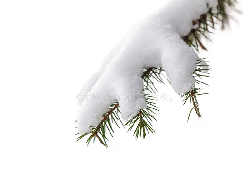 Isolated evergreen pine tree branch with snow stock photo