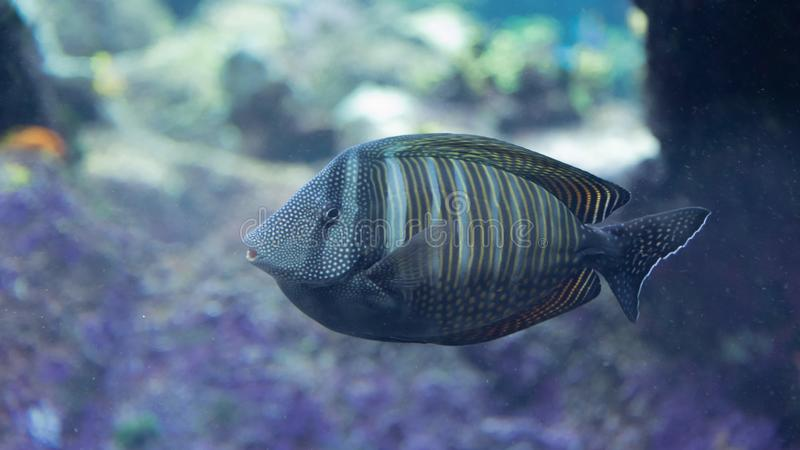 Isolated exotic blue striped aquarium fish with yellow bands floating in water royalty free stock images
