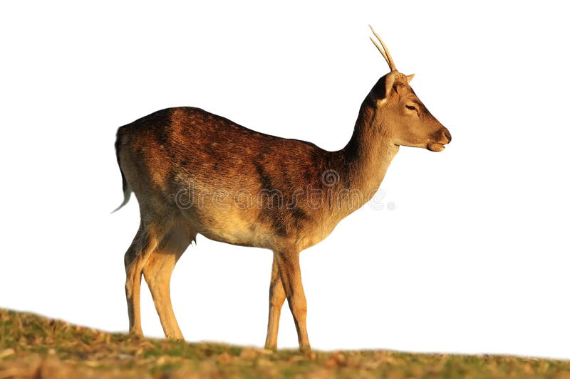 Isolated fallow deer buck royalty free stock photography