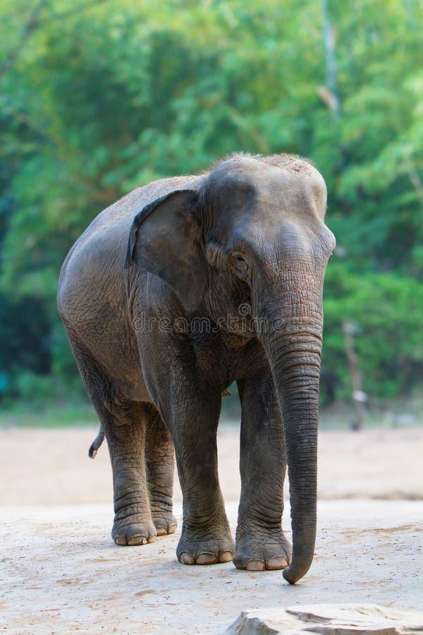 Isolated female asian elephant walking stock photography