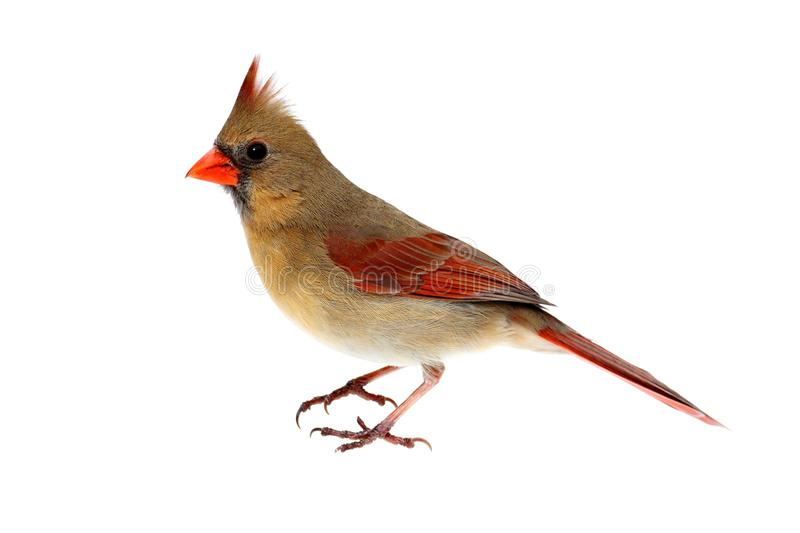 Isolated Female Cardinal on White. Female Northern Cardinal (Cardinalis) - Isolated on a white background stock photos