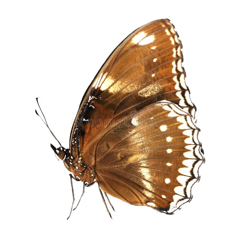 Isolated female of great eggfly butterfly & x28; Hypolimnas bolina ja royalty free stock images