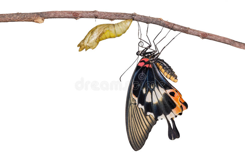 Isolated female yellow body Great mormon Butterfly with cocoon. Isolated female yellow body Great mormon Butterfly resting on twig after emerged from cocoon royalty free stock photo