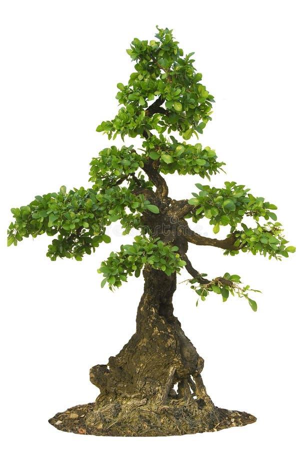 Download Isolated Fig Tree bonsai stock photo. Image of season - 19263716