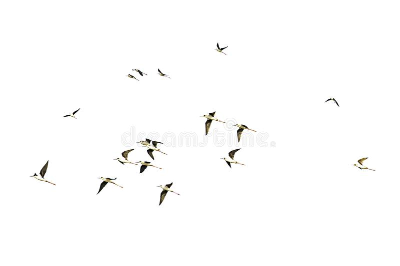 Isolated Flocks of birds flying on a white background with clipping path royalty free stock image