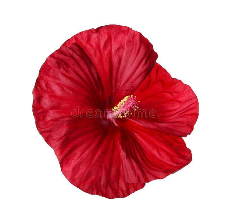 Isolated flower of a deep red hibiscus royalty free stock photography