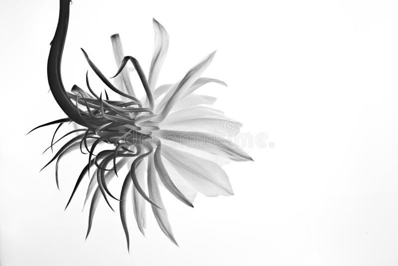 Isolated flower of Epiphyllum Oxipetalum or Dama de Noche royalty free stock photography