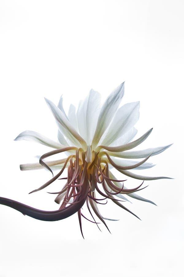 Isolated flower of Epiphyllum Oxipetalum or Dama de Noche stock photography