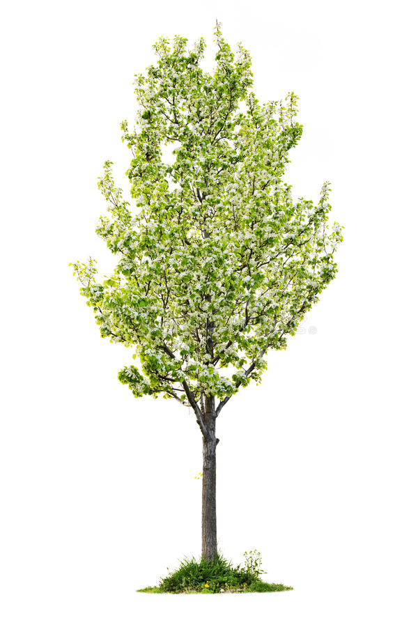 Download Isolated Flowering Pear Tree Stock Photo - Image: 14704200