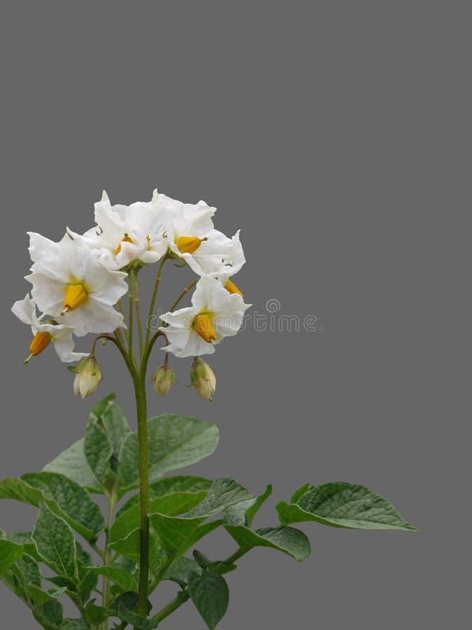 Isolated flowering potato Bush. royalty free stock photos