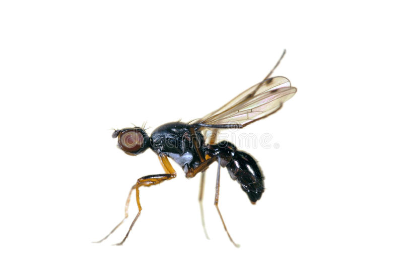 Isolated fly: Sepsidae stock image