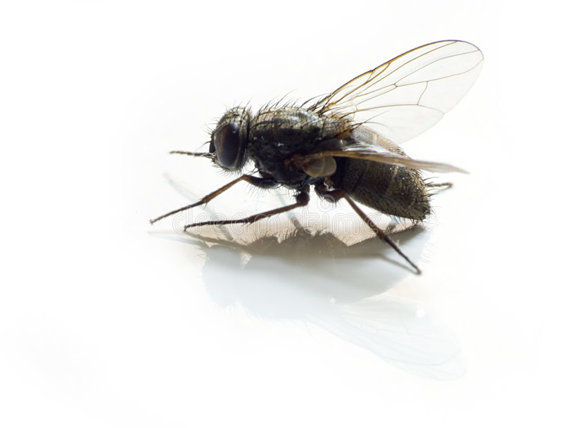 Image result for fly white background