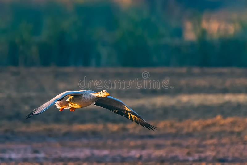 Isolated Flying Goose in Air stock photography