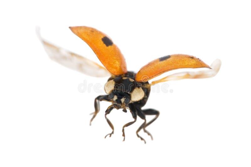 Isolated flying ladybug royalty free stock image