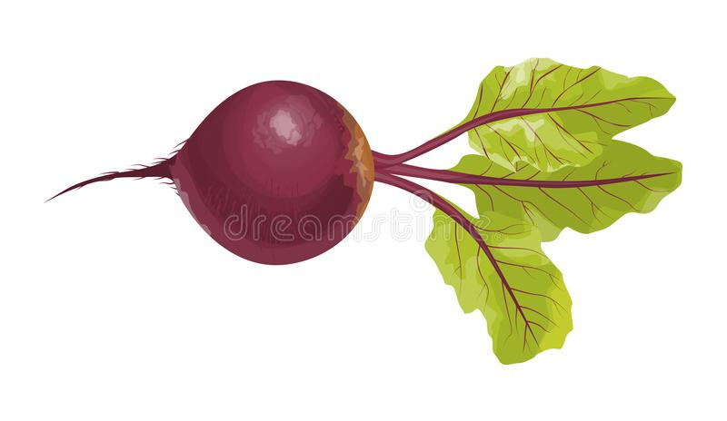 Isolated beet root. Isolated fresh beet root on white background vector illustration