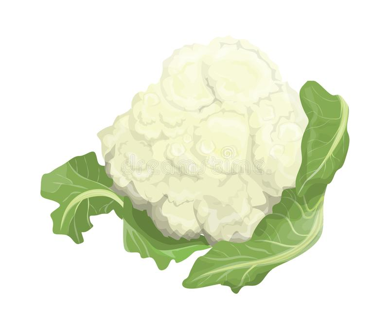 Isolated fresh cauliflower. Isolated fresh healthy green cauliflower on white background vector illustration