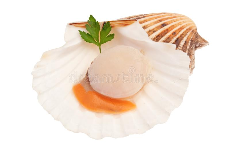 Isolated Fresh raw scallop - seafood. Isolated fresh raw scallop on white background stock photos