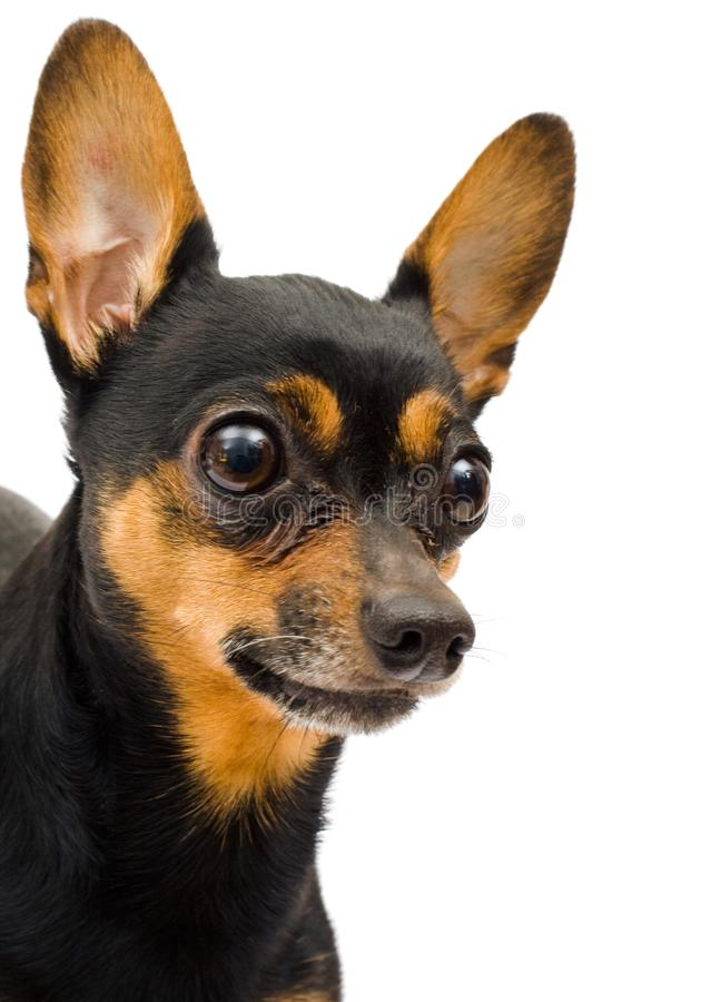 Isolated funny dog stock photo