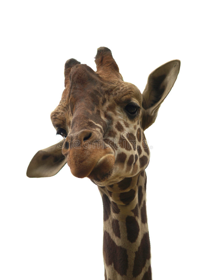 Isolated funny giraffe. Over white royalty free stock photo