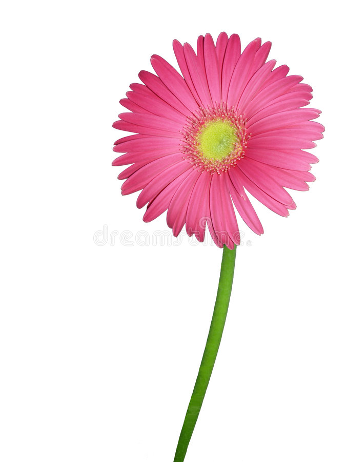 Isolated Gerber daisy royalty free stock images