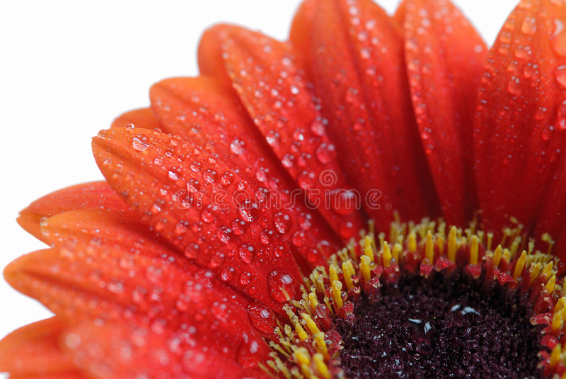 Isolated gerbera flower stock photography