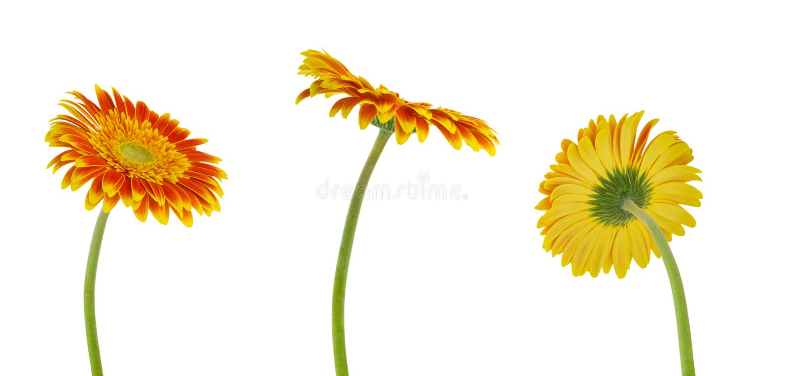 Three colorful beautiful gerbera flower isolated on white background with clipping path stock photography
