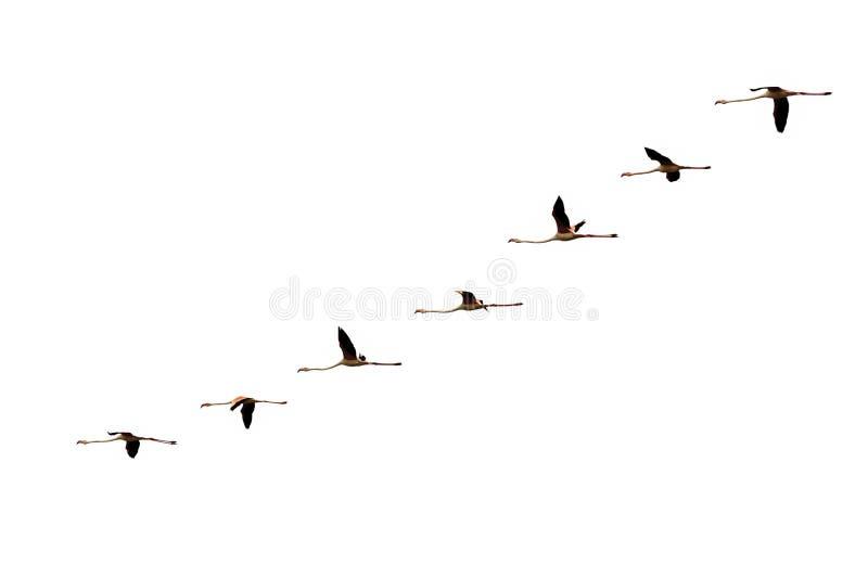 Isolated gradual flying flamingo flight on white royalty free stock image