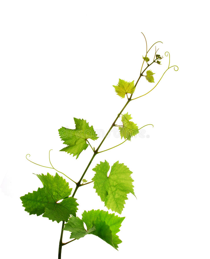 Isolated grapevine branch royalty free stock image