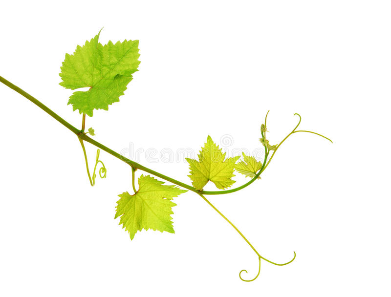 Isolated grapevine shoot royalty free stock image