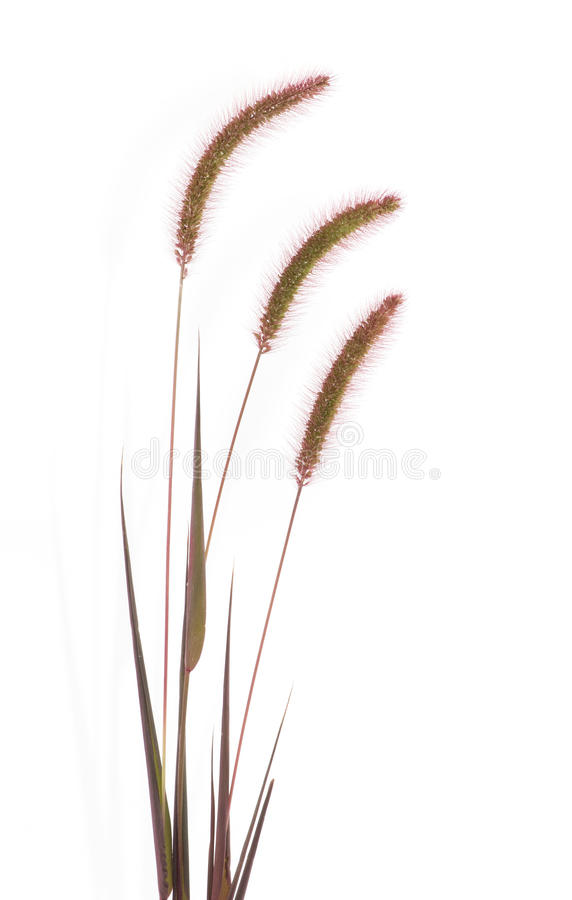 Free Isolated Grass Stalks Royalty Free Stock Photography - 20603447
