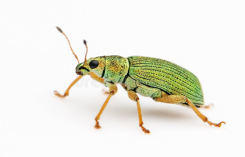Isolated Green Bug royalty free stock photos