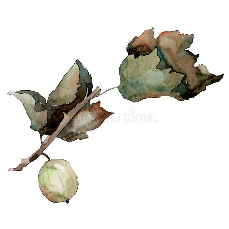 Isolated green gooseberry illustration element. Green leaf. Watercolor background illustration set. royalty free illustration