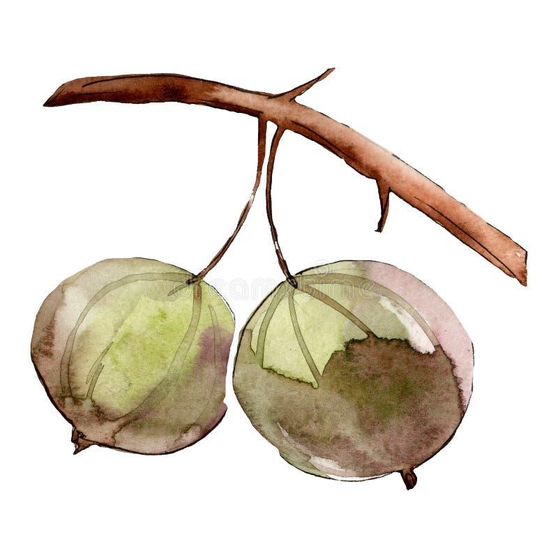 Isolated green gooseberry illustration element. Watercolor background illustration set. royalty free illustration