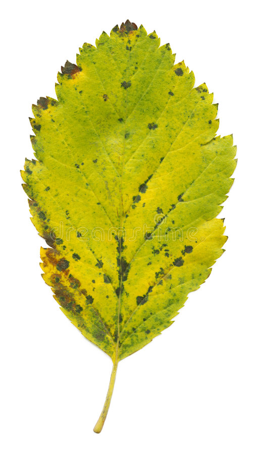 Isolated Green Leaf Stock Photography