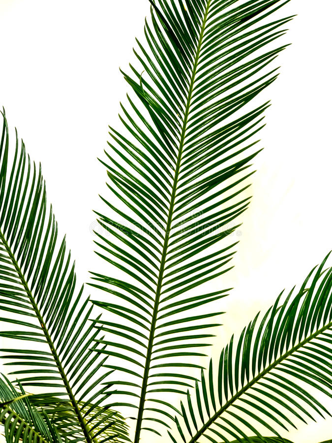 isolated green palm leaf royalty free stock image