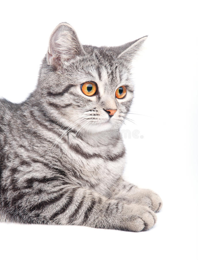 Isolated grey cat royalty free stock photography