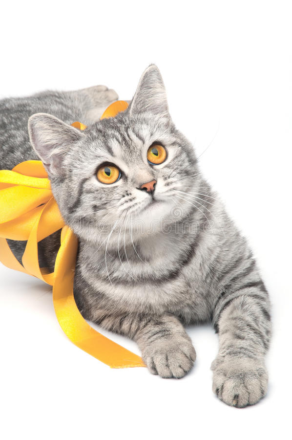 Isolated grey cat. Looking young funny grey cat with yellow bow, isolated on white royalty free stock photos