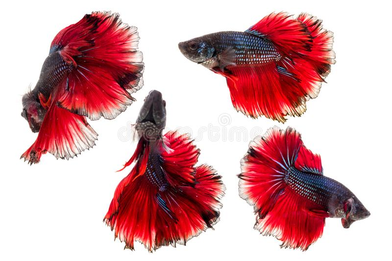 Isolated half moon betta fish stock photo