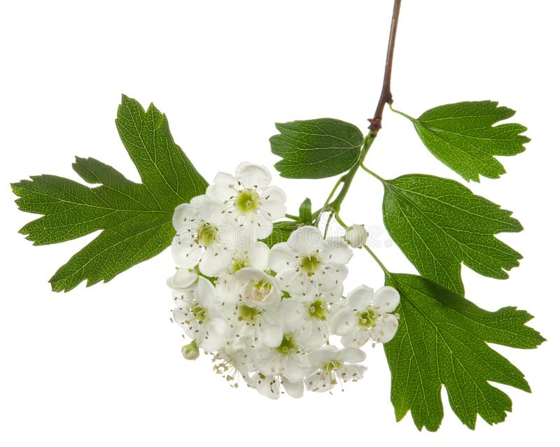 Isolated hawthorn flower, whitethorn inflorescence on branch with green leaves on white background. Herbal medicine plant royalty free stock image