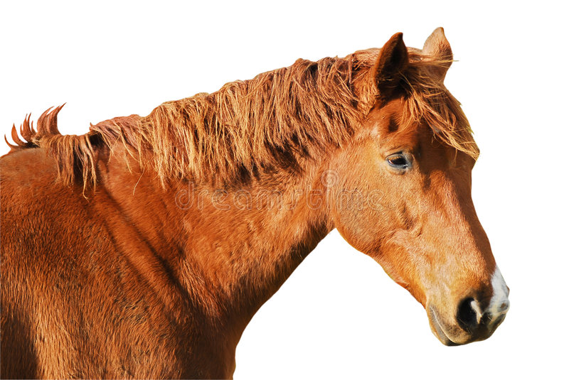 Download Isolated head horse stock image. Image of hair, mammal - 2253085