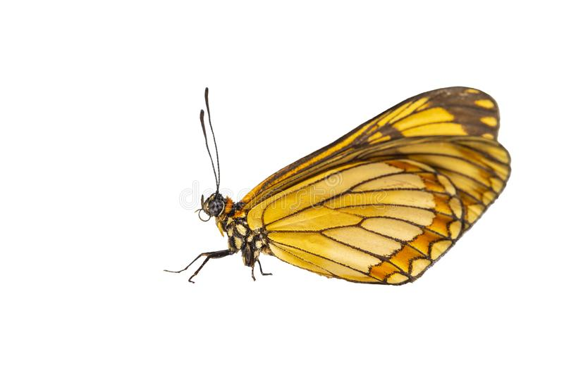 Isolated hide view of yellow coster butterfly Acraea issoria royalty free stock images