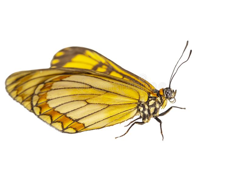 Isolated hide view of yellow coster butterfly Acraea issoria stock photo