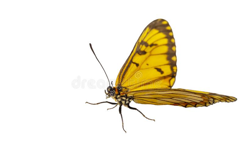 Isolated hide view of yellow coster butterfly Acraea issoria stock image