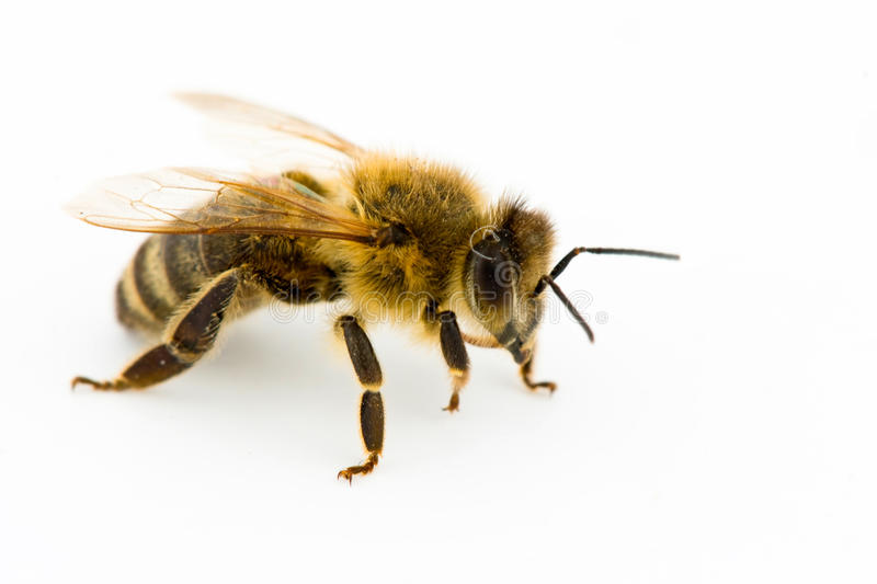 Download Isolated honeybee stock photo. Image of white, animal - 17155068