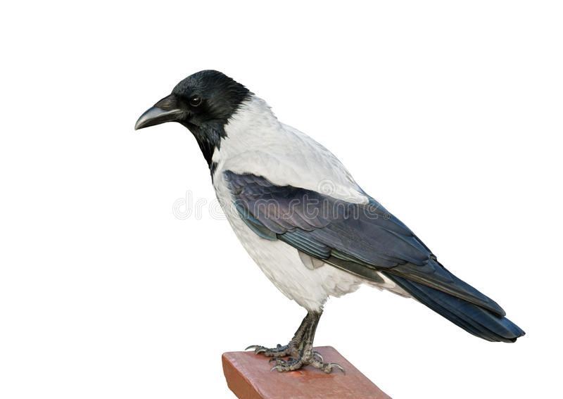Isolated Hooded Crow stock photography